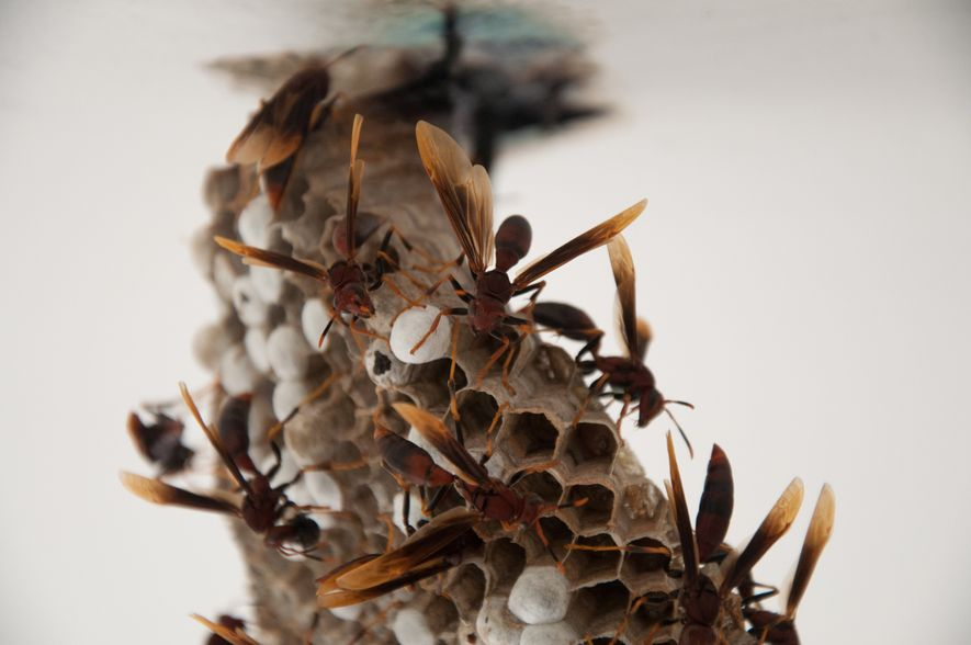 Kennedy is studying the paper wasp and because the insect has a more open nest, it ...