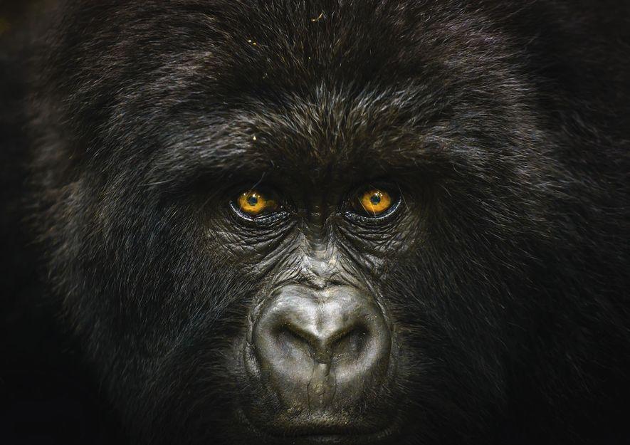 Nature category winner: Mountain gorilla in Virunga National Park, Democratic Republic of Congo
