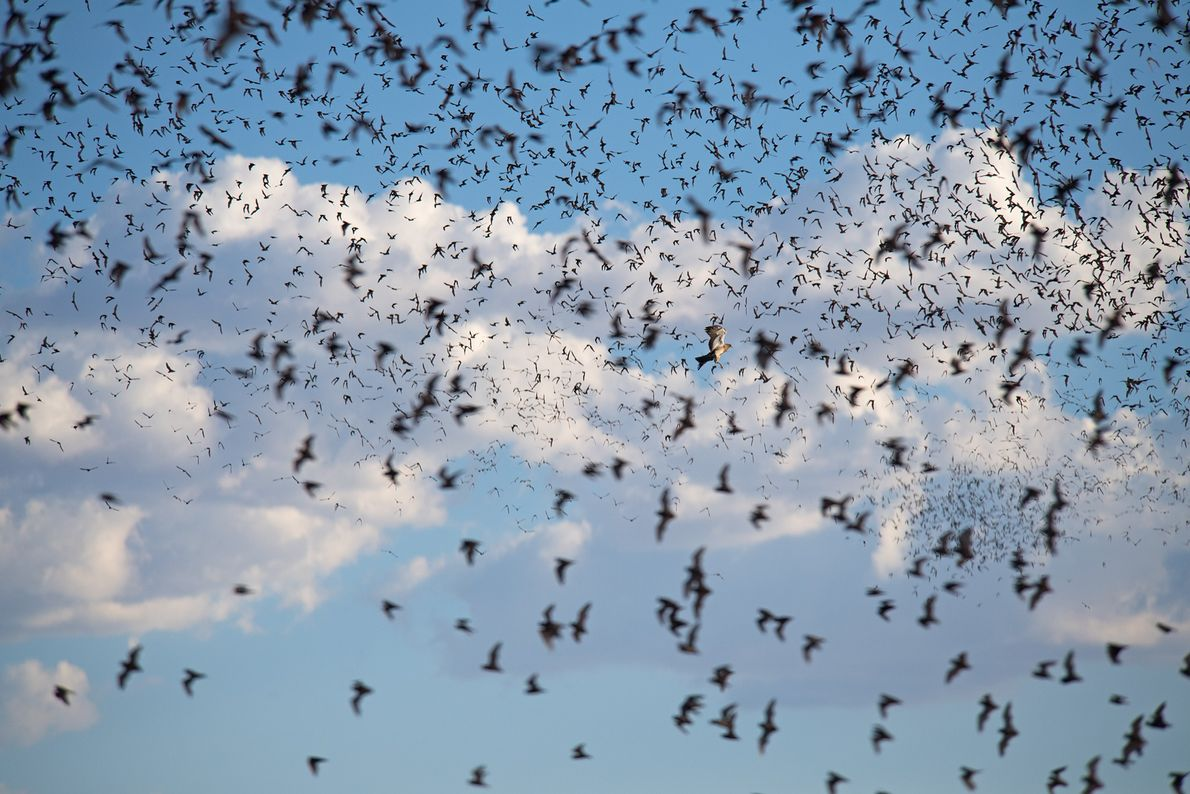 Over a million Mexican free-tailed bats (Tadarida brasiliensis) emerging from a cave in New Mexico.  ...