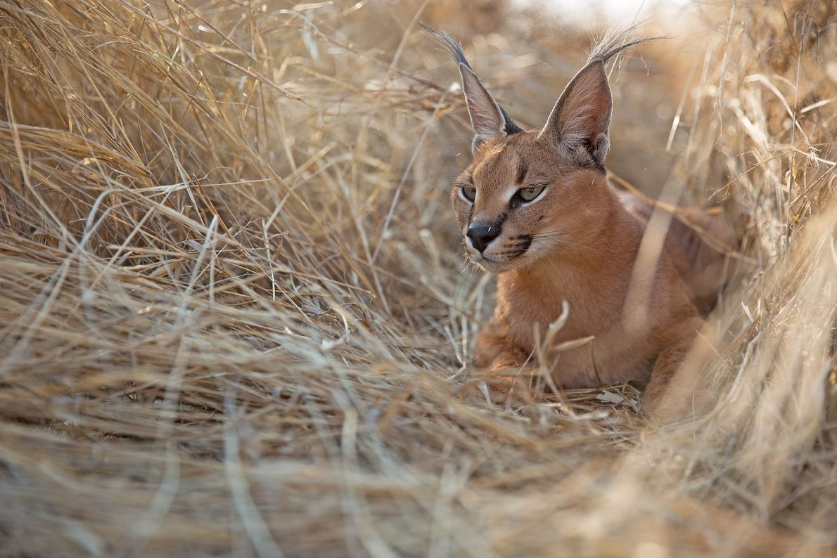A caracal (Caracal caracal) in the Namib Desert, waiting for temperatures to drop so it can ...