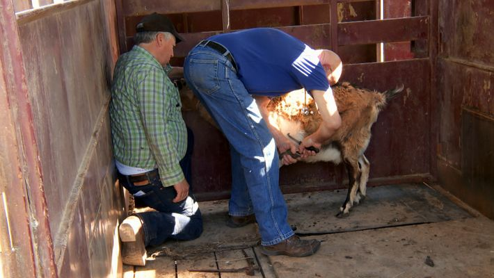 Dr Pol and the calcium solution