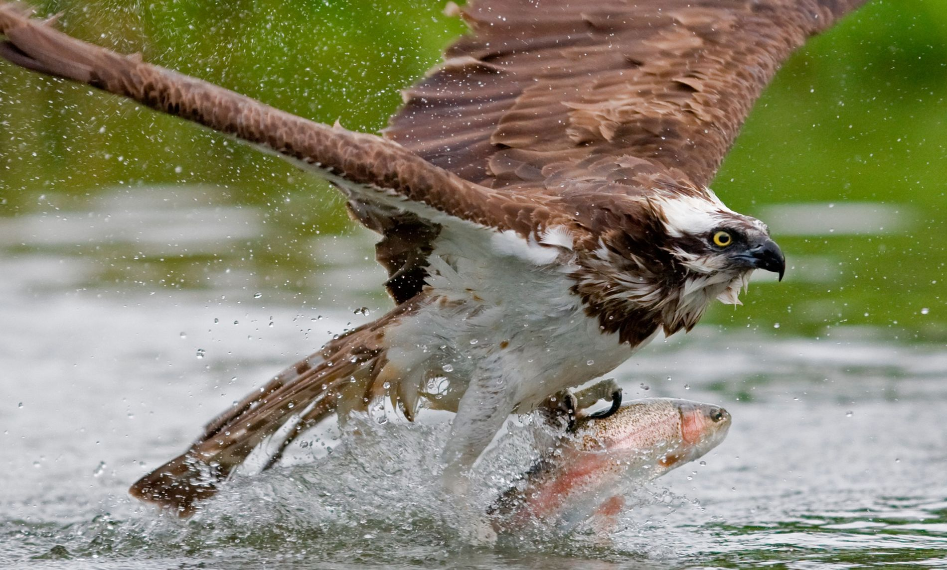 Osprey catching a salmon trout in Finland. These mighty birds are making slow but steady recovery ...