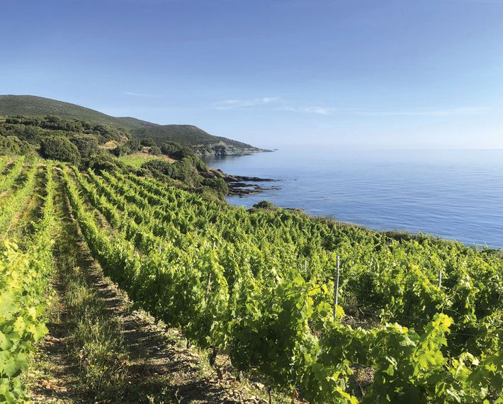 Coastal vineyard, Cap Corse