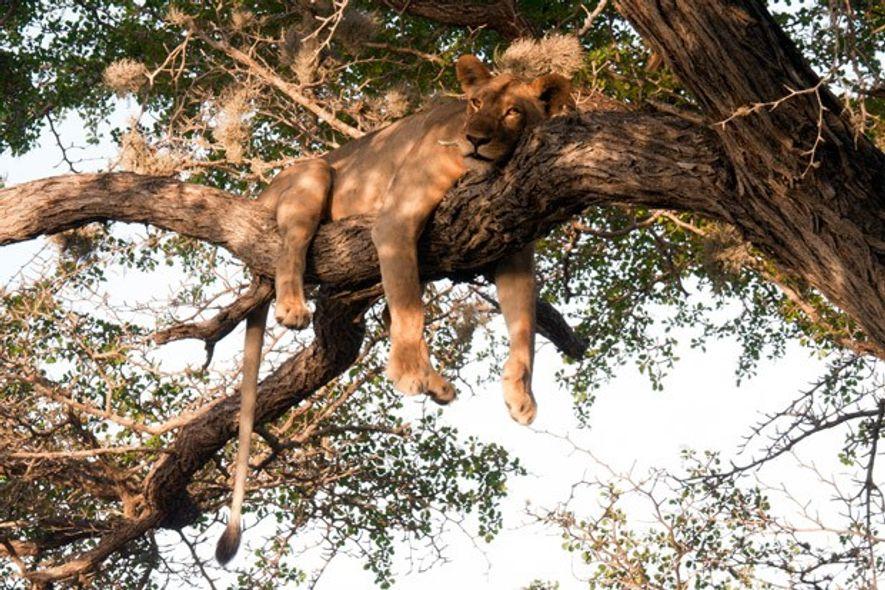 Lioness in acacia tree, Saadani National Park, Tanzania. Image: Emma Gregg.