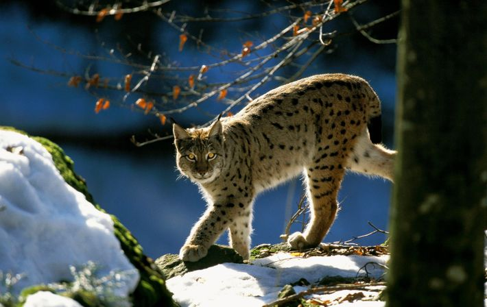 Eurasian lynx can reach up to 30kg. Successful reintroductions have taken place on the continent – ...