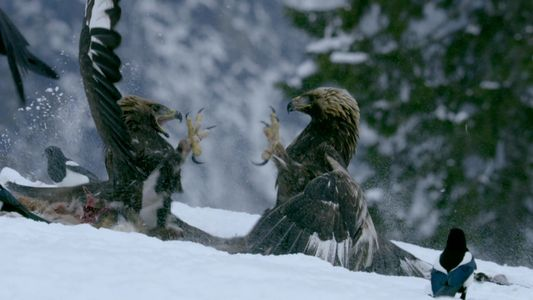 Two Eagles Fight For A Chance To Eat And Survive