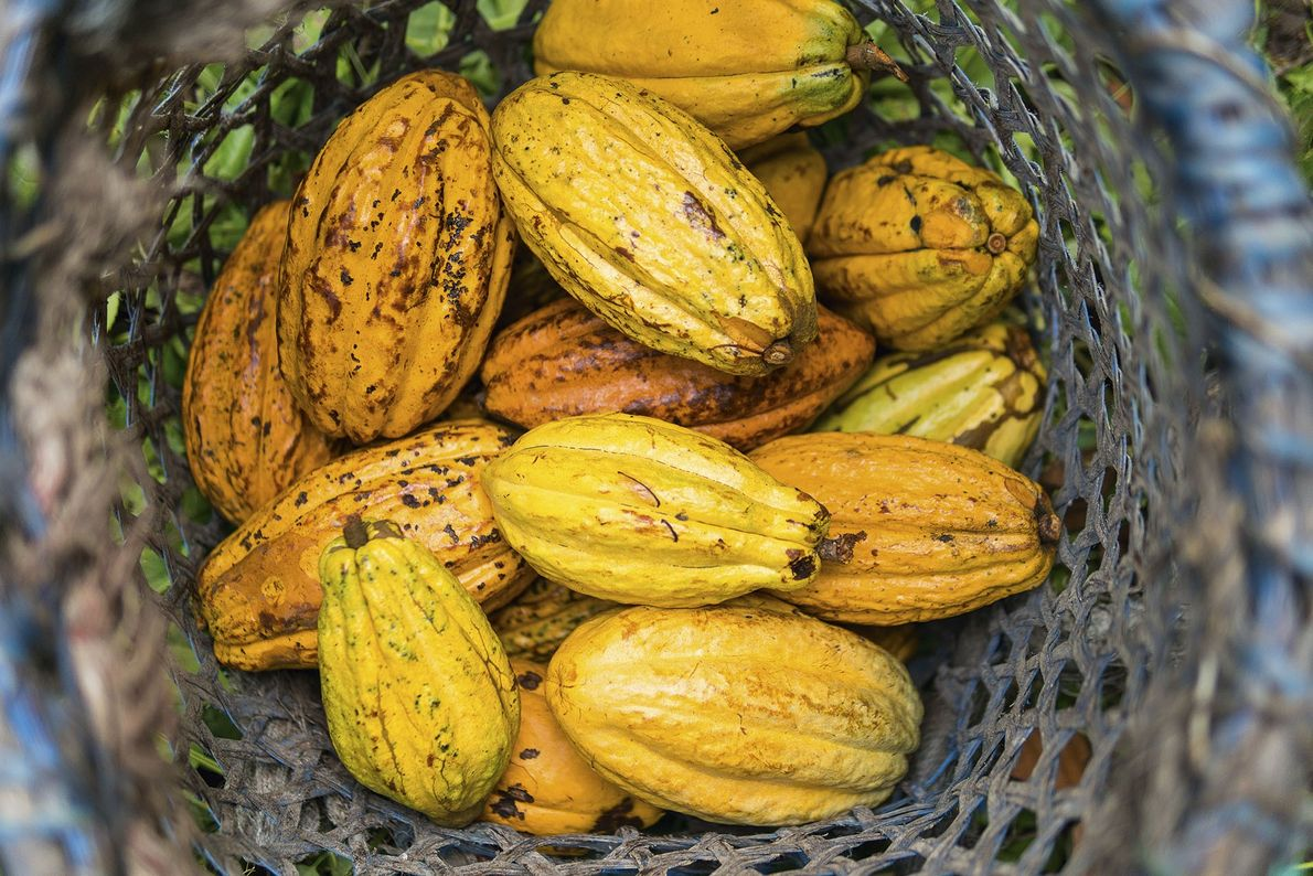Basketful of To'ak Ancient Nacional cacao pods collected by farmers at Piedra de Plata.