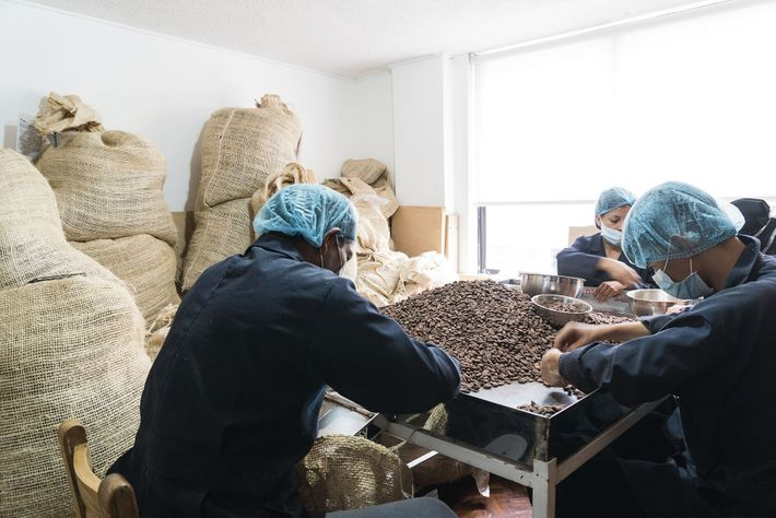 Workers sort cacao beans for size at To'ak