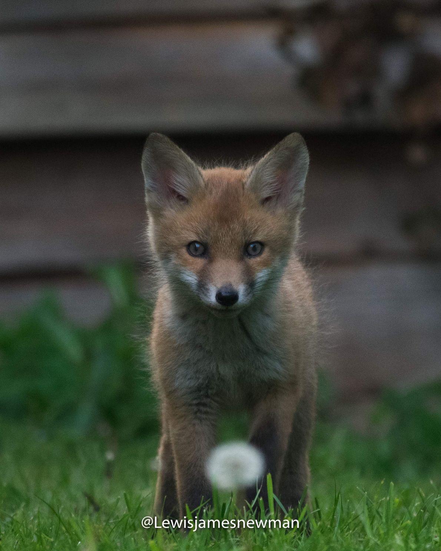 A curious fox cub makes eye contact over a Dandelion Clock.