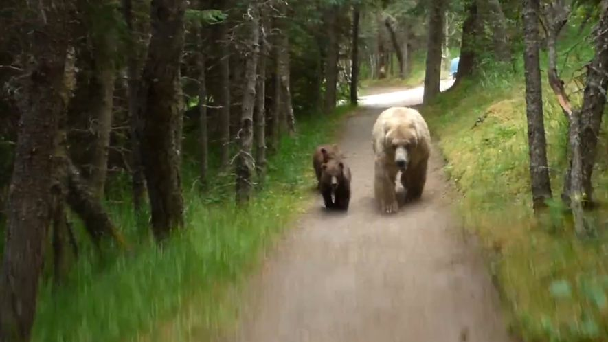 Bears Follow Hiker
