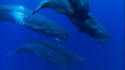 Sperm Whale Calves With Their Mothers