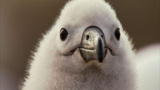 An Albatross Love Story