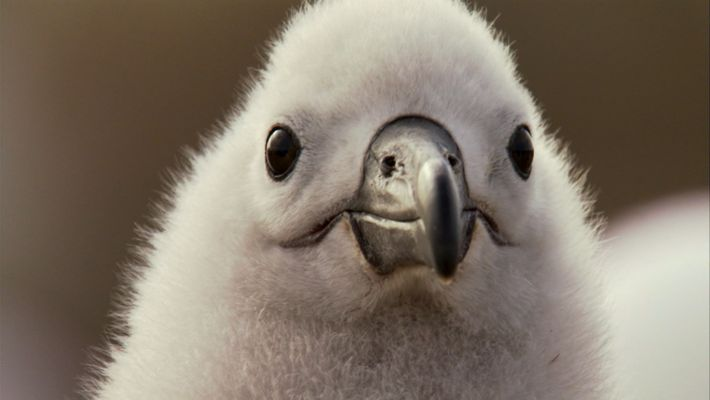 An Albatross Love Story