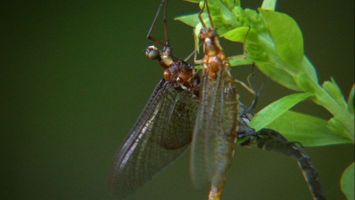 The Life of a Mayfly