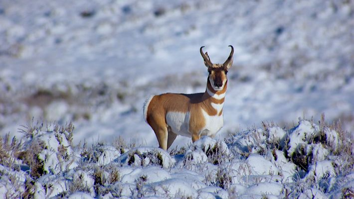 The Ancient Pronghorn Migration