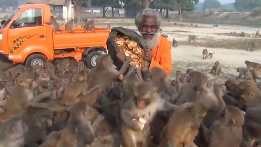 Man Feeding Swarm of Monkeys