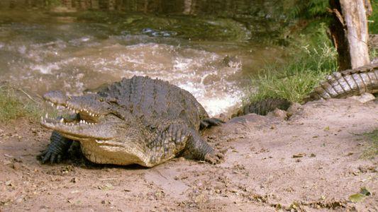 Crocodile Devours Zebra