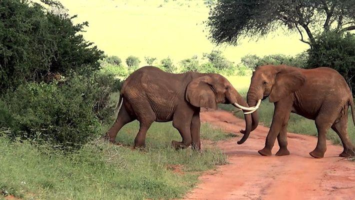 Elephant Brawl