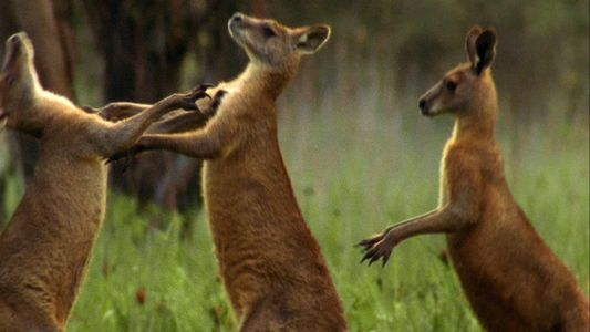 Fierce Kangaroos