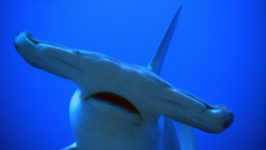 Why Do Hammerhead Sharks Have Such Strange Shaped Heads?