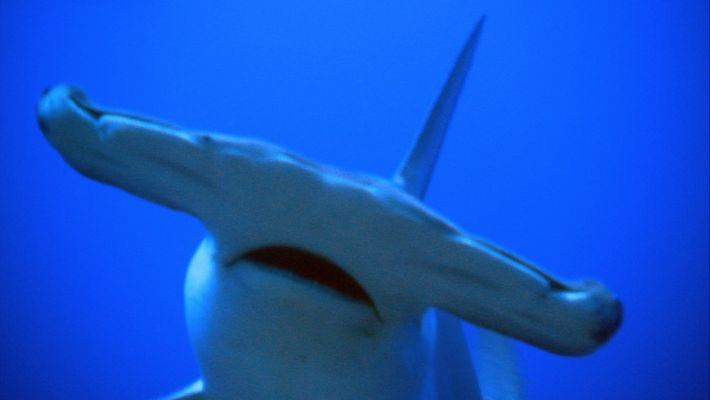Why Hammerhead Sharks Have Such Strange Shaped Heads?