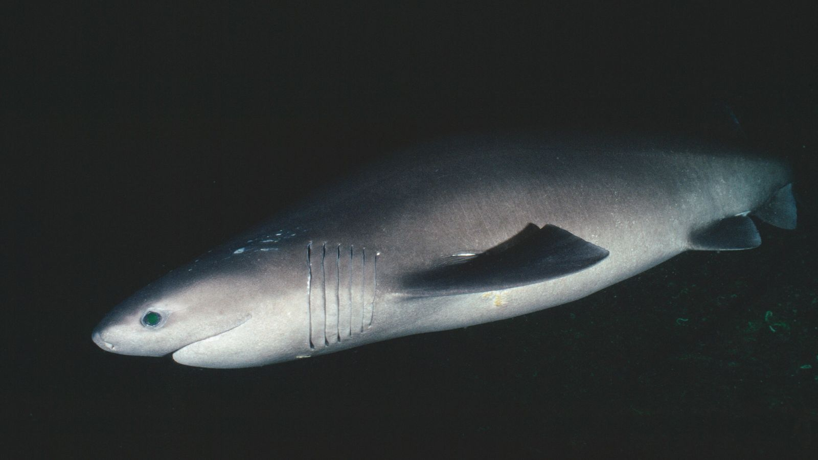 The bluntnose sixgill can live thousands of feet underwater and grows in excess of 5 metres. ...