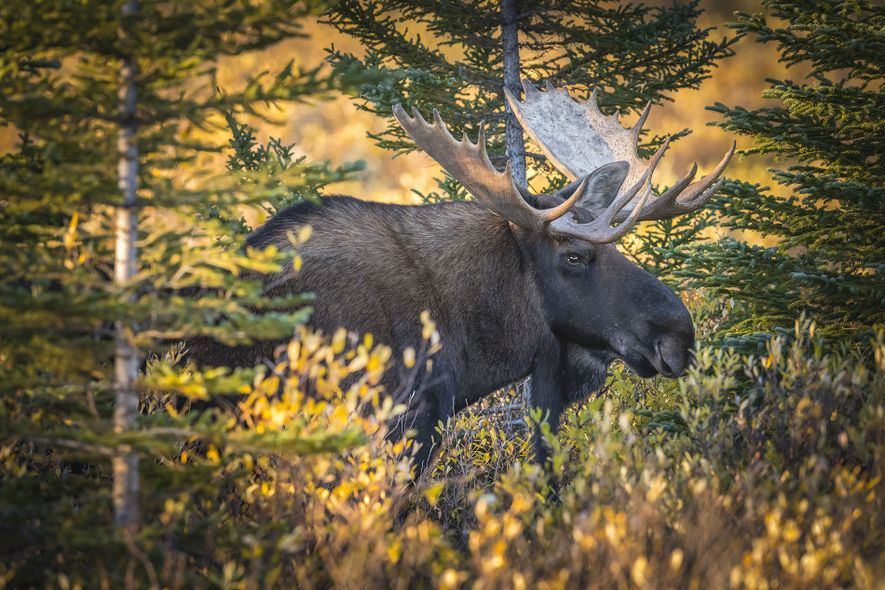 A moose grazes in Manitoba's autumnal forests.
