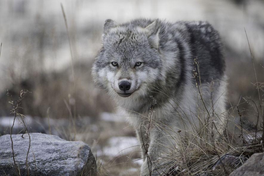 Arctic wolf stalking its prey.