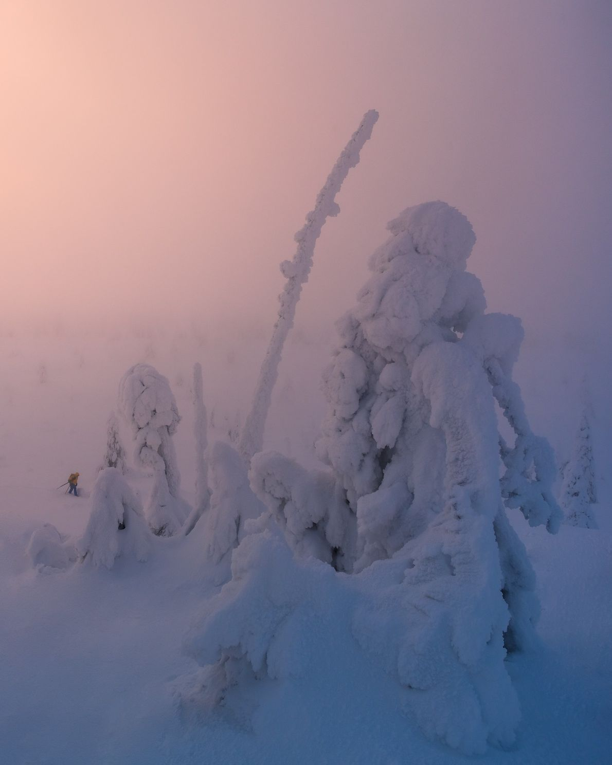 Frozen coniferous trees in Riisitunturi National Park. The forests of Finland form part of the Boreal ...