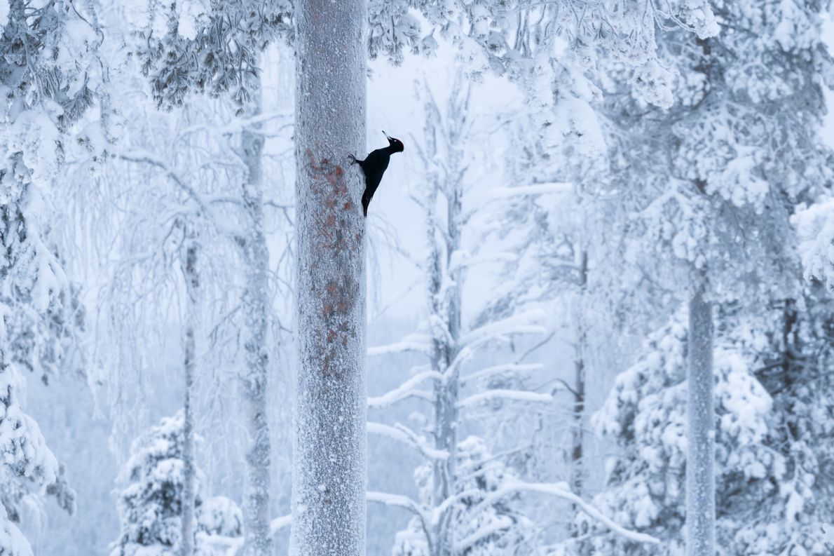 "Stian Klo: ""The black woodpecker (Dryocopus martius) is an impressive and somewhat elusive creature. We spent ..."