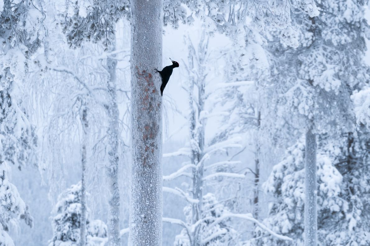 """Stian Klo: """"The black woodpecker (Dryocopus martius) is an impressive and somewhat elusive creature. We spent ..."""