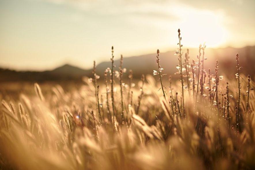 Wildflowers at sunset in the Flinders Range, Australia.