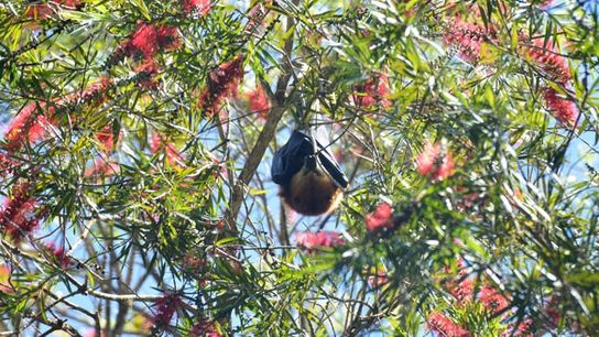 Fruit bat, Mauritius.