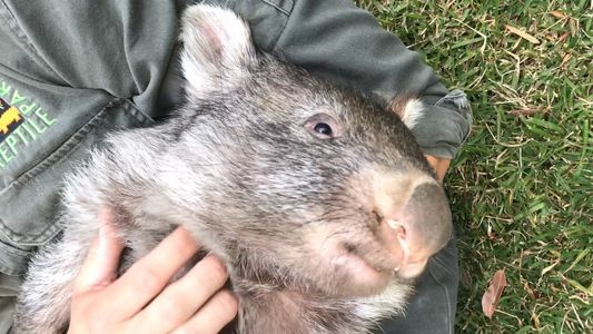 George the Wombat Begins New Life in the Wild