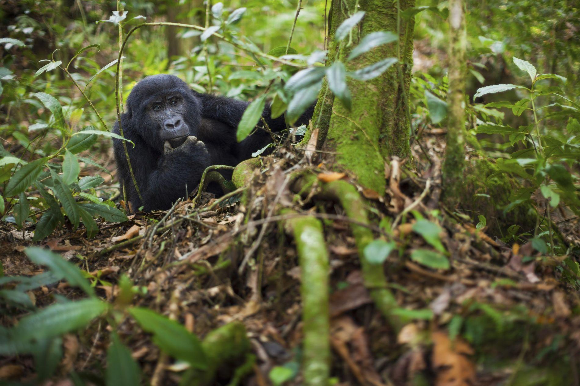 Gorilla in Virunga National Park