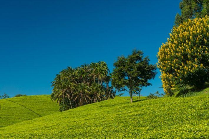 Satemwa Tea Estate, Malawi.