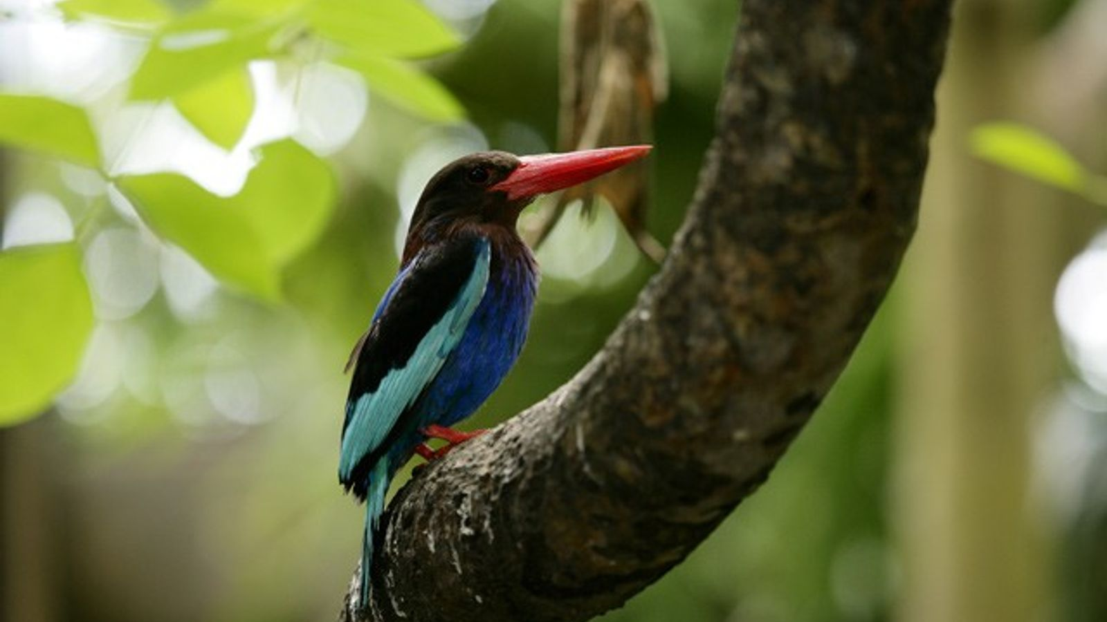 Javanese kingfisher