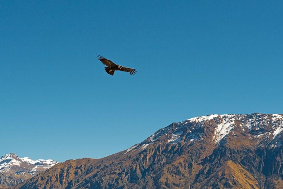 Peru: Colca Canyon's condors