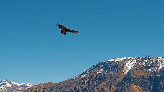 Condors, Peru