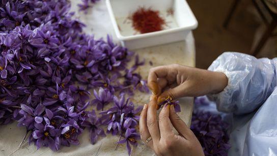 Picking saffron