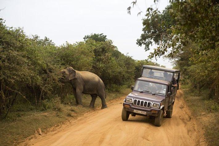 Elephants on a safari in Sri Lanka