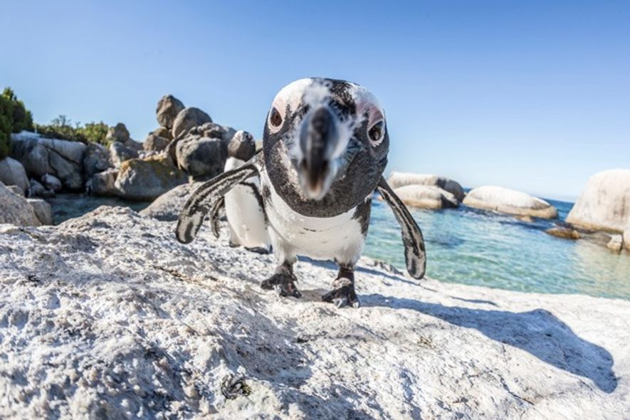 Penguin on Boulders Beach, South Africa