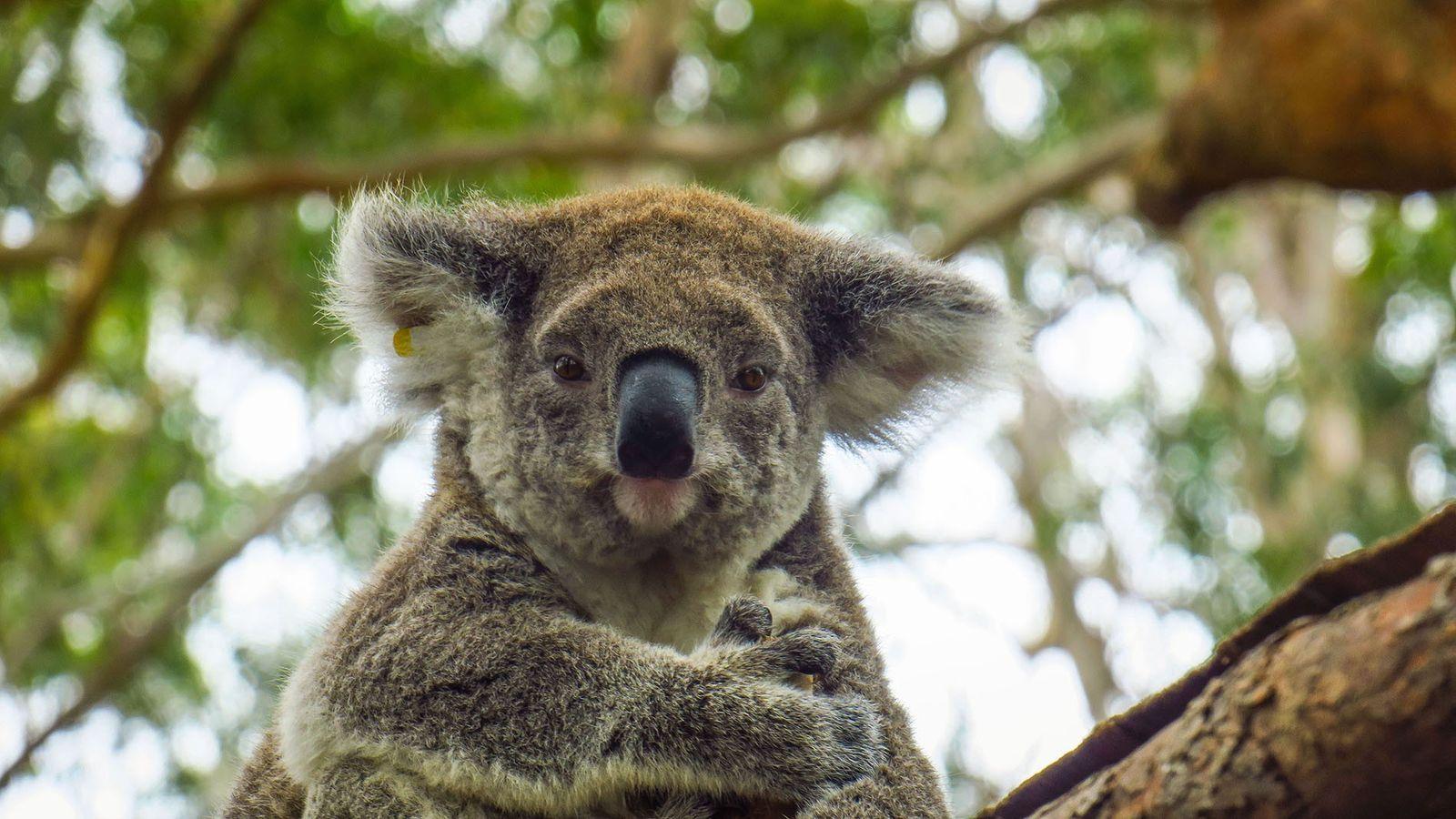 Koala at Port Macquarie