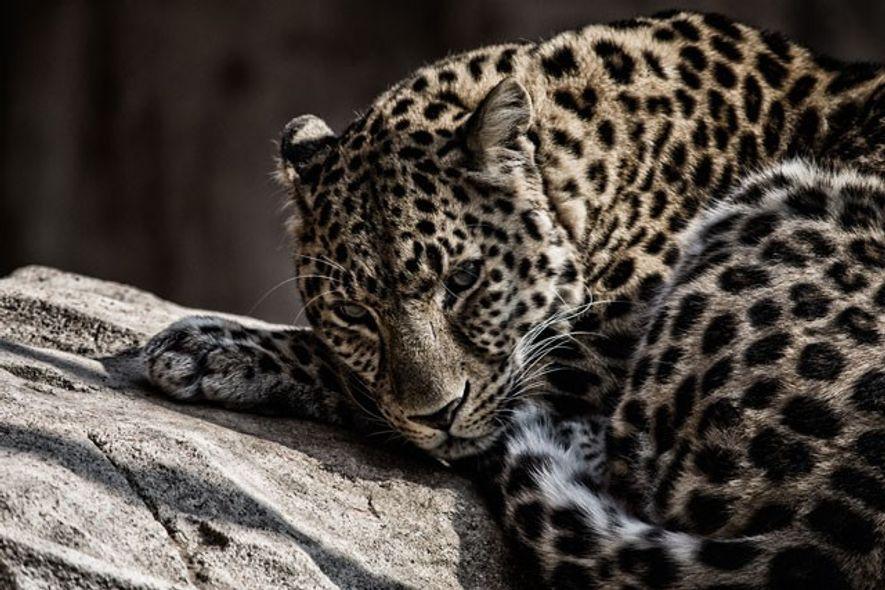Dhofar: Where leopards roam