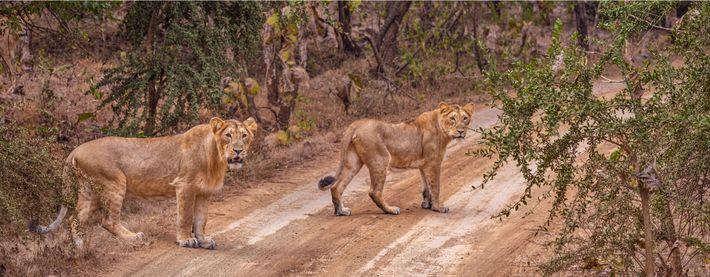 Gir lions in Gir National Park