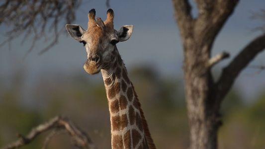 Giraffes 101