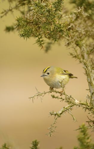 A goldcrest, 'Regulus regulus', perched on gorse, at RSPB Havergate Island.