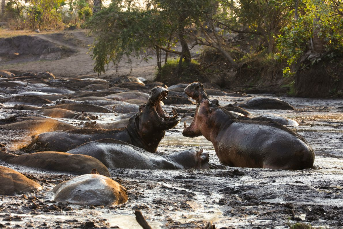 Tanzania: two bull hippos fight for space in Katavi National Park. During the dry season, their ...