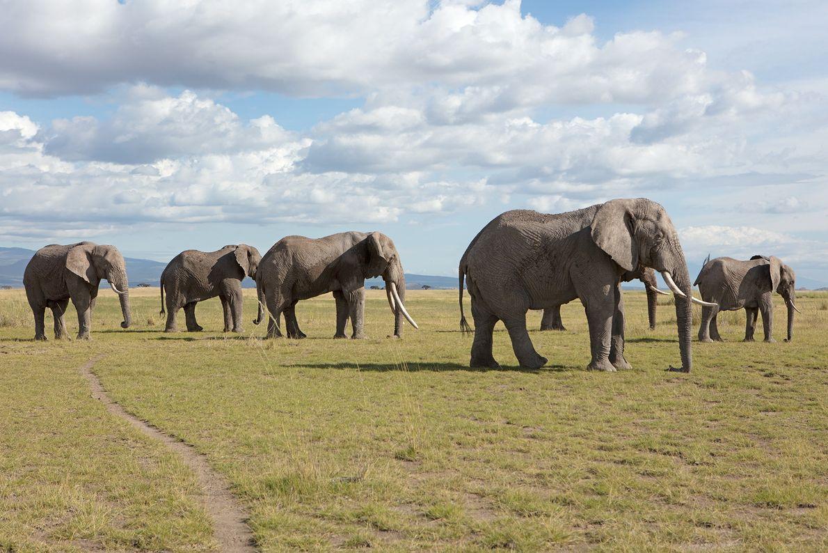 Kenya: an African Elephant herd in Amboseli National Park.