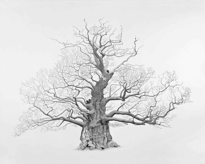 Great Oak, Nibley Green, Gloucestershire. The tree that started it all for artist Mark Frith's project, ...